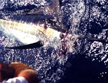 Tagged Marlin